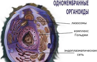 Одномембранные органоиды клетки доклад 9285