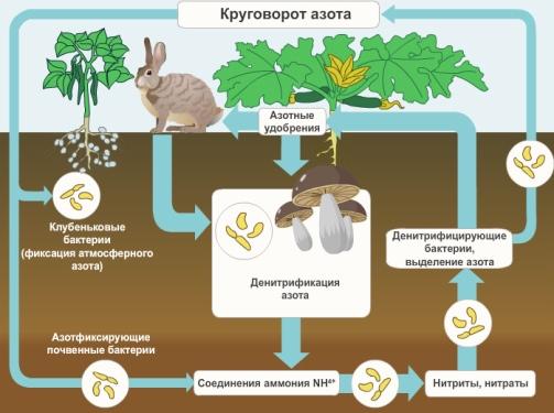 схема значение бактерий в природе