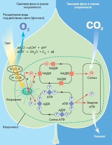 первая стадия фотосинтеза