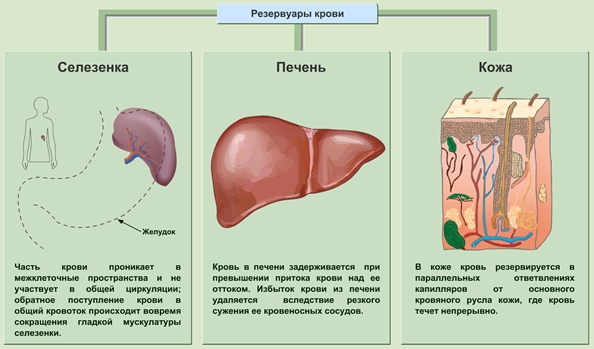 Классификация степени тяжести цирроза печени по child turcotte pugh