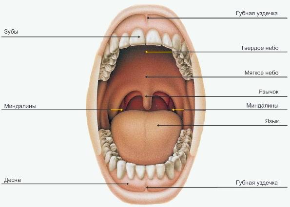 гельминты в ротовой полости человека