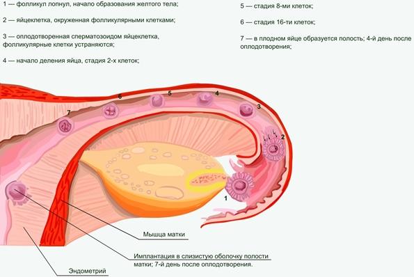 Мужчины сперматозоид бесплодотворение
