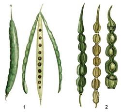 Семена крестоцветных содержат эндосперм