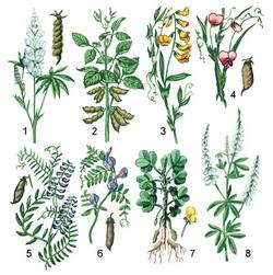 бобовые фото растения