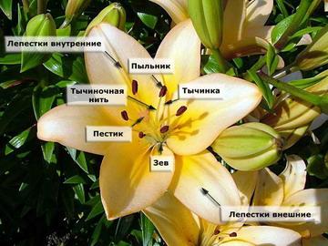 Реферат на тему лекарственные растения семейства лилейные 7174