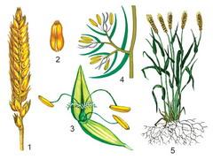 Рисунок 13 Влияние ТПДО зерновки пшеницы на агрегацию