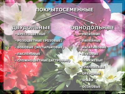 Отдел Цветковые, или