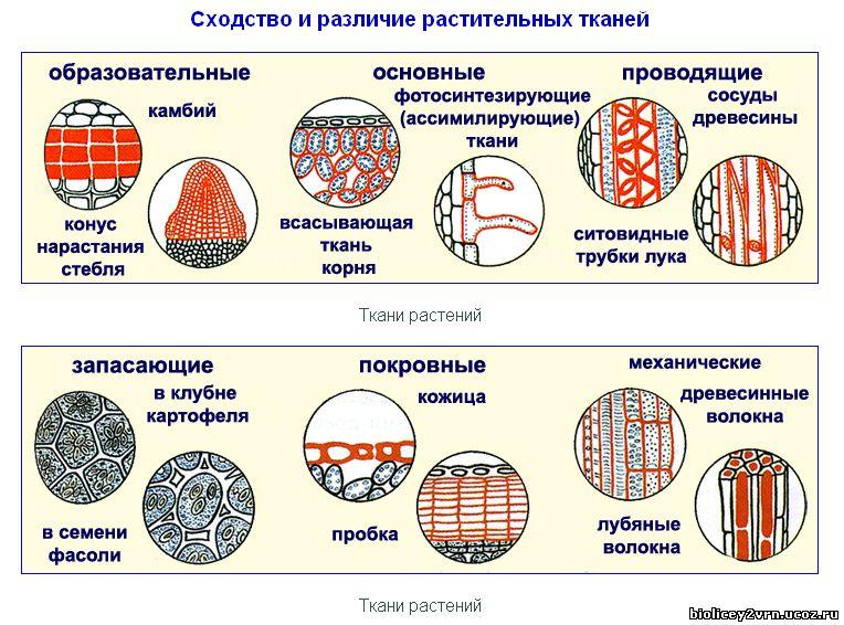 Таким образом, ткани растений