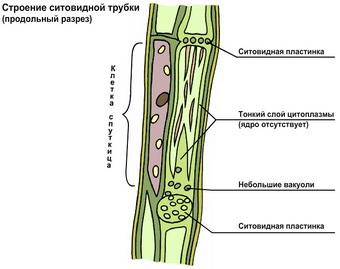 Ткани растений в схемах