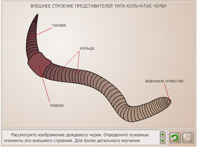 солитер паразит лечение