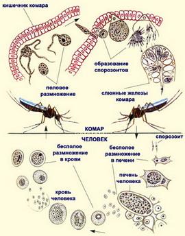 как паразиты выходят из организма человека